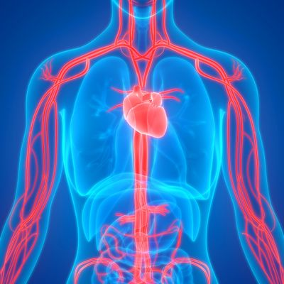 blue image of a torso showing the cardiovascular system in red